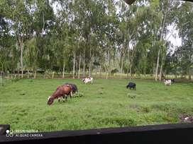 Vendo vacas en producción