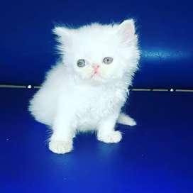 hermoso gatos persa un mes y 23 días