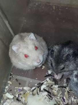 Vendo hamsters rusos! $150