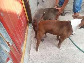 De venta cachorros american bulling