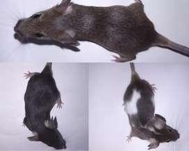 Ratones domésticos o de laboratorio para alimento o mascota