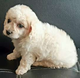 BELLOS FRENCH POODLE MINITOY
