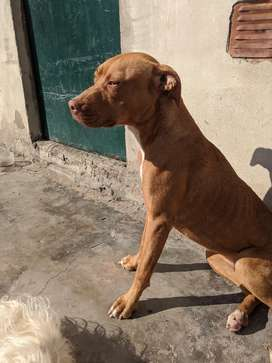 Pitbull hembra, 9 meses, vacunada ( quíntuple) 3000 $
