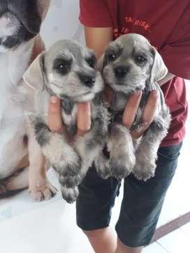 Bigotudos cachorros schnauzer en venta