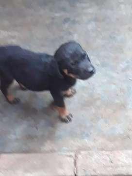Cachorro rottwyler