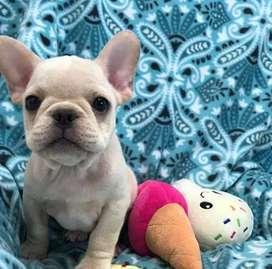 Bulldog frances Fawn, crema claro, 62 dias de edad.