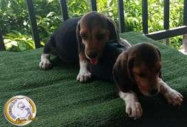 Beagle tricolor machos dos meses