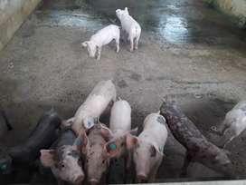 Se venden lechones de 50 dias de nacido de buena genetica y cerdos para pesa