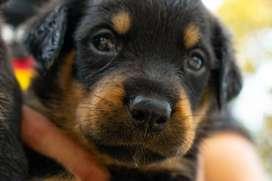 Venta de Rottweiler raza pura 2 meses