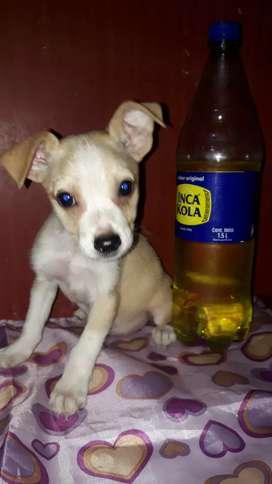Cachorros raza pequeña Chihuahua Pequines Cocker Snauzer Shitzu