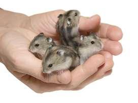 Hamsters Rusos en venta