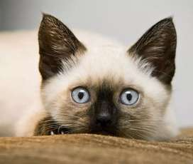 Hermosos gatos siames