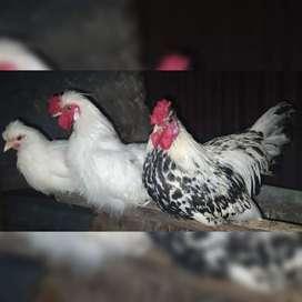 Gallos/Gallinas Sedosos y Criollos