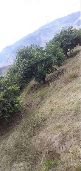 Plantación de aguacates