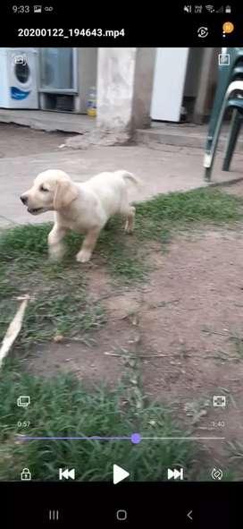 Cachorros Labrador Dorado