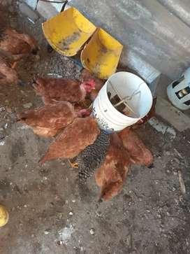 Vendo gallinas criollas