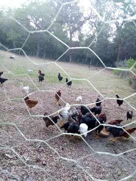 Vendo gallinas criollas y pollitas ya poniendo