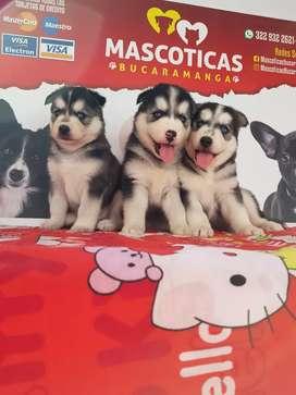 Espectaculares cachorros lobos siberianos