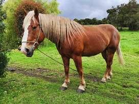 Hermoso caballo percheron