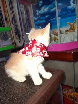 Hermoso  gatico    de  2  meces
