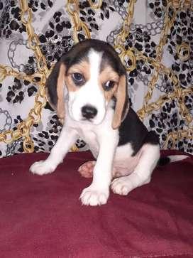 Enano beagle tricolor de calidad