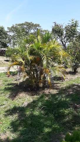 Palma Areka,  Hermosas y económicas palmeras.  Hermosas para decoración, jardín exterior, entradas de fincas y parques.
