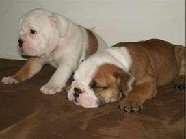 con esta hermosa raza bulldog ingles te aseguramos un historia llena de mor y alegría