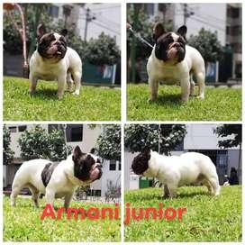 Bulldog Francés Servicio de monta