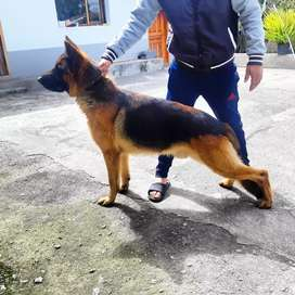 Perro Pastor Alemán para monta