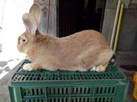 Inigualables conejos gigantes