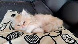 Hemos gaticos persas