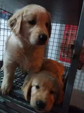 Vendo hermosas golden retriver