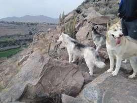 Servicio de Monta  husky Siberiano