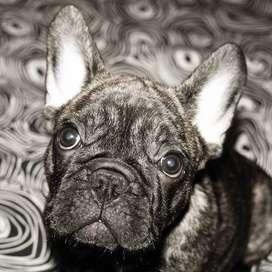 Bulldog Frances Barcino, 71 dias de edad.