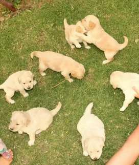 Golden Retriever últimas cachorras preciosas entrega marzo