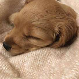 Los mejore perros de raza de 46 días