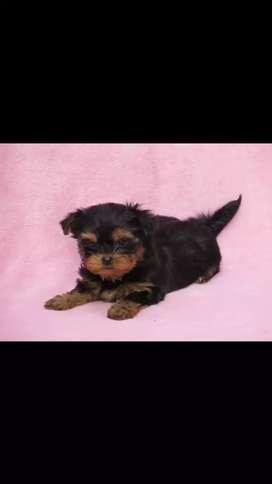 Yorkshire terrier disponibles