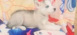 Husky siberiano de 2 meses