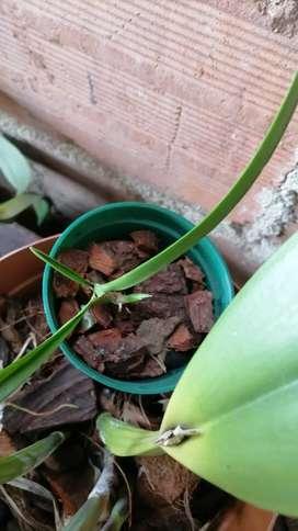 Cortes de orquidea rodriguezia lanceolata