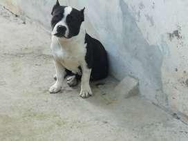 Cachorra américan bulli enana 30cm a la cruz de 7 meses tres semanas