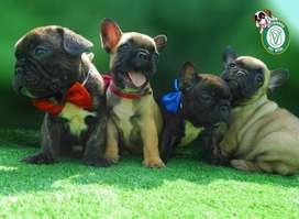 CACHORROS BULLDOG*DOGO*SCHNAUZER*DALMATA*BOBTAIL*BERNARDO EN PET VITAL