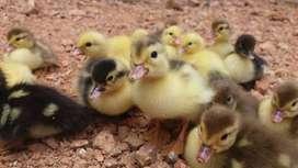 Patos criollos bebes