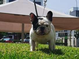 Bulldog frances pied servicio de monta