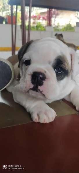 Bull dog cachorra de 2 meses ,desparasitada y parbo