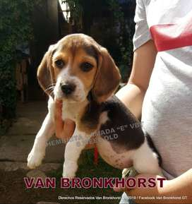 Hermosos Beagle Disponible