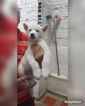 cachorros de lobo siberiano color blanco