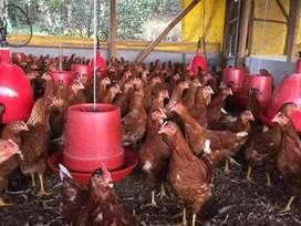 Avícola villa del sur 31338Pollas ponedoras raza Lohman Brown