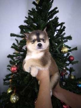 Siberiano cachorros