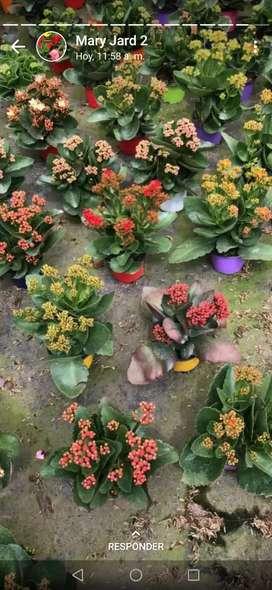 Plantas kalanchoe y varias