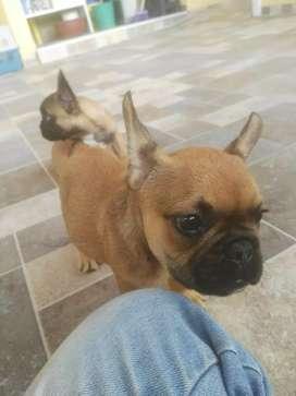 Carismáticos Bulldog francés gorditos